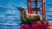 Steller sea lions on a buoy in Ventura Harbor, Ventura, California USA