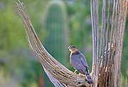 GOOD FENCES | A pair of Cooper's Hawks circle around their saguaro perch for hours