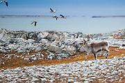 Canada geese (Branta canadensis) fly off as a reindeer (Rangifer tarandus) trots by on the coast near Hyttevika, Svalbard.