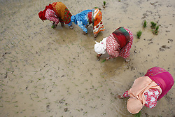 June 8, 2017 - Lalitpur, Nepal - Nepalese rice farmers planting rice saplings in a rice paddy field ahead of the annual celebrations of Ropai Jatra or the rice planting festival in the outskirts of Kathmandu, Nepal on June 8, 2017. Monsoon rains be a sign of the beginning of rice planting season in Nepal. (Credit Image: © Skanda Gautam via ZUMA Wire)