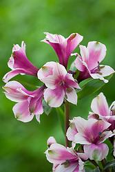 Alstroemeria 'Marshmallow'. Peruvian Lily