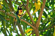 Collared Aracari, Pteroglossus torquatus