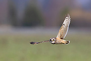 A short-eared owl (Asio flammeus) flies over a farmer's field on Fir Island in the Skagit Valley of Washington state as it hunts for food.