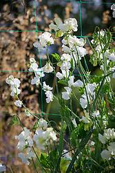 Lathyrus odoratus 'Aphrodite'.Sweet pea