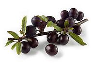 Fresh sloe berries