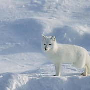 Arctic Fox (Alopex lagopus) foraging for food on an ice pack of Hudson Bay.