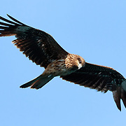 Black-eared-kite (Milvus migrans lineatus) soaring overhead. Kochi Prefecture, Japan. トビ
