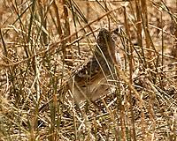 Juvenile Horned Lark (Eremophila alpestris). Arapaho National Wildlife Refuge, Colorado. Image taken with a Nikon D2xs camera and 80-400 mm VR lens.