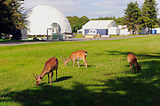 Three young sika deer graze away beside the 16th tee box as workers continue the preparations for the 3 Irish Open over the Killeen Course at Killarney Golf Club this week..Picture by Don MacMonagle