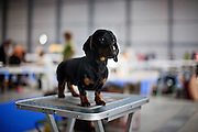 Dog on a table is waiting for the start of a  competition at the Prague Expo Dog Exhibition.