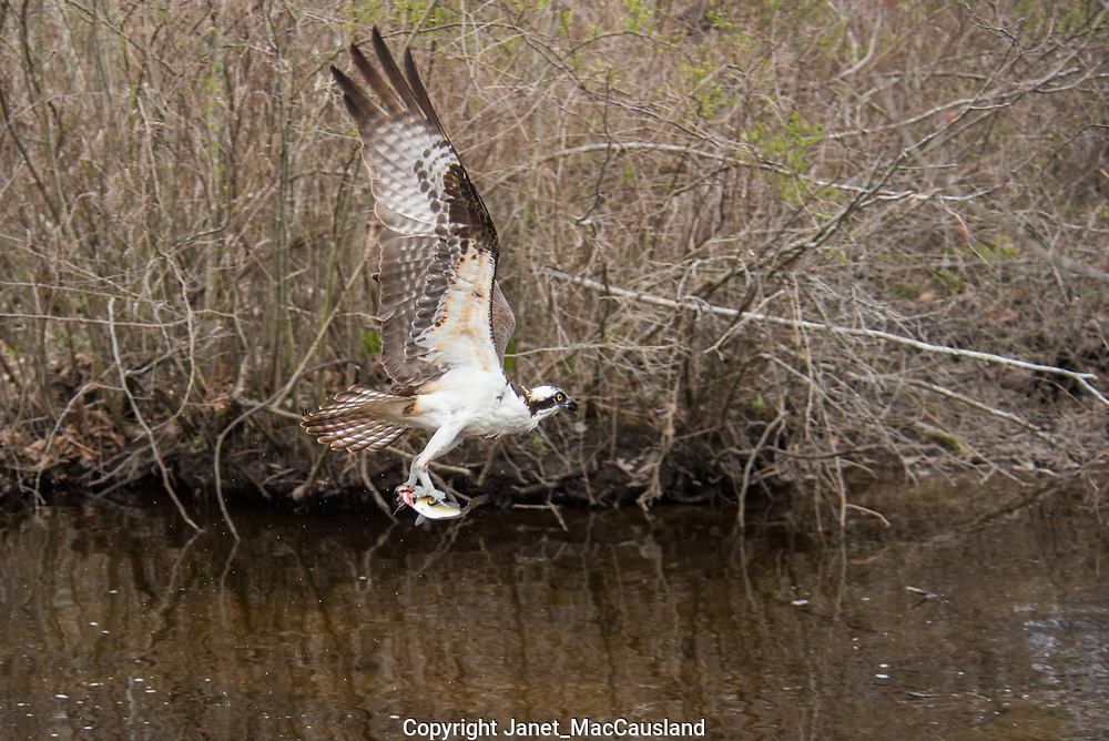 An Osprey, or Fish Hawk, flies by with a River Herring, or Alewife, it has just plucked from it's spawning migration in the northeastern USA.