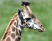 Female Masai giraffe (Giraffa camelopardalis tippelskirchii). Arusha National Park. Arusha, Tanzania.