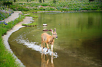 A Columbian black-tailed deer (Odocoileus hemionus columbianus) wades in Tipsoo Lake on Chinook Pass in Mount Rainier National Park, Washington, USA.