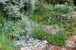The seaside garden at Glebe Cottage with Elaeagnus 'Quicksilver' , eryngiums, Crambe maritima and pulsatilla seedheads