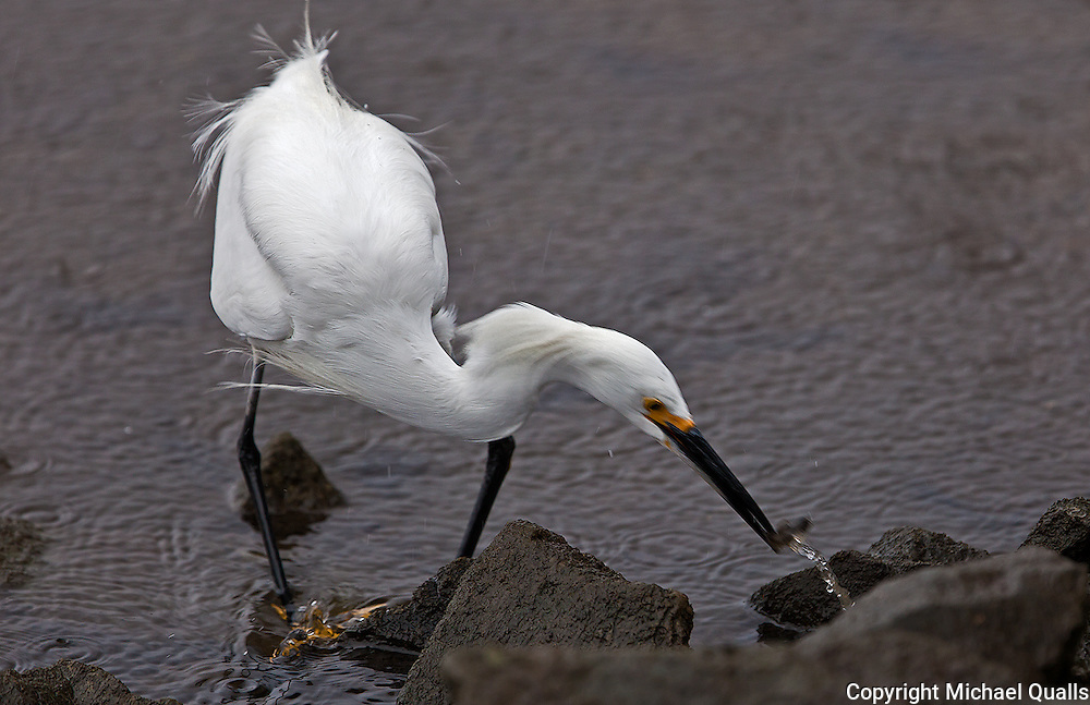 Snowy Egret at the moment of a catch!  Image #2 in a sequence of four.