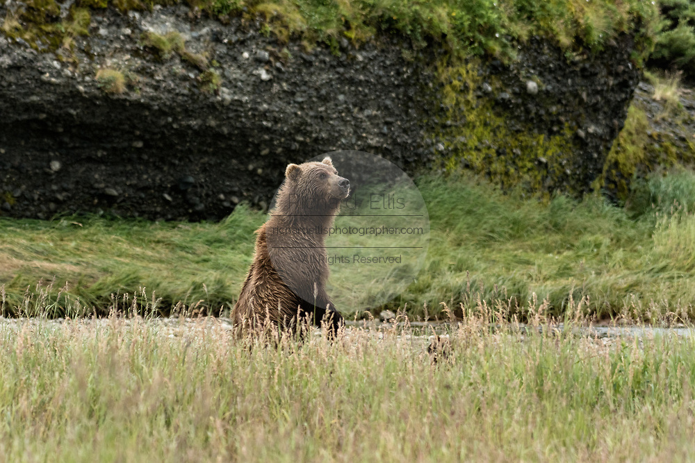 A brown bear sow stands up in the grass at the McNeil River State Game Sanctuary on the Kenai Peninsula, Alaska. The remote site is accessed only with a special permit and is the world's largest seasonal population of brown bears in their natural environment.