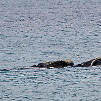 Africa, South Africa, False Bay. In winter months, Southern Right Whales are easily spotted from land off the coast in False  Bay.