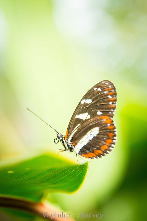 Heliconius ismenius Butterfly (captive), Mashpi Reserve, Ecuador, South America