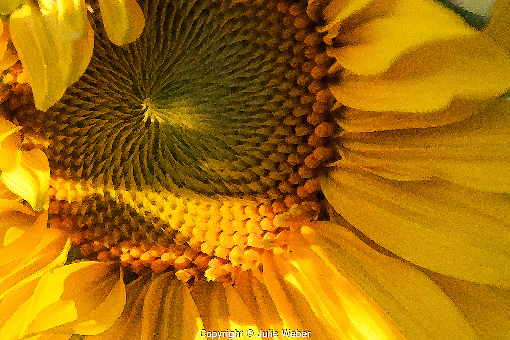 Detail of sunflower lit by evening sunshine