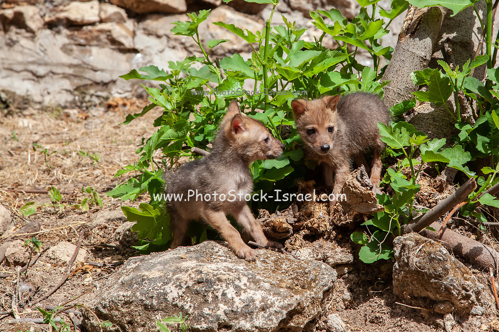 Curious Cubs of a Golden Jackal (Canis aureus), also called the Asiatic, Oriental or Common Jackal play near their den. Photographed in Israel in June