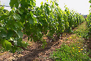 In the vineyard: Larmandier does not treat the vineyard but keeps the natural grass and weed, Champagne Larmandier-Bernier, Vertus, Cote des Blancs, Champagne, Marne, Ardennes, France