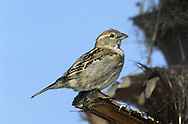 Spanish Sparrow-Female - Passer hispaniolensis