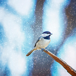 A Black-Capped Chickadee in the snow