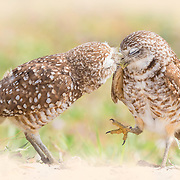 Pair of burrowing owls outside their burrow nest. Male owl affectionately grooms his mate, who appears to be swept off her feet. Sand-colored portrait vignette added.