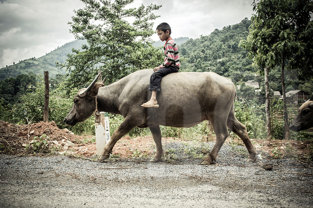 Kid ridding a buffalo along the roadside near Tanh Phu Village, Sapa District, Lao Cai Province, Vietnam, Southeast Asia