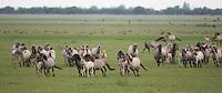 Konik horses on grass plain. Oostvaardersplassen, Netherlands. Mission: Oostervaardersplassen, Netherland, June 2009.