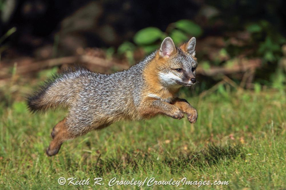 Gray Fox pup running in Habitat