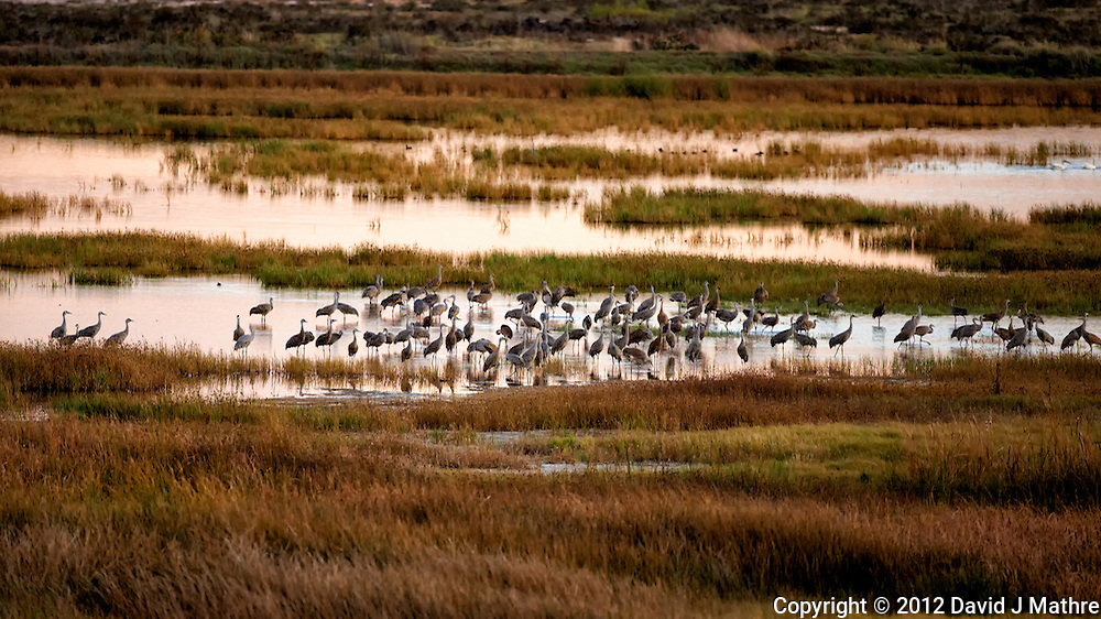 Sandhill Cranes in a Marsh at Bitter Lake National Wildlife Refuge near Roswell, New Mexico. Image taken with a Nikon D800 and 500 mm f/4 VR lens (ISO 1600, 500 mm, f/4, 1/320 sec).