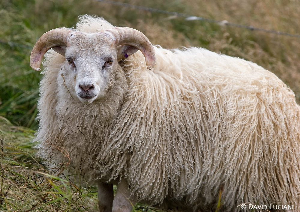 An icelandic sheep along Route 711, between Hvammstangi and Hindisvík. <br /> The icelandic sheep is a direct descendant of the Viking sheep, introduced in Island nearly 1200 years ago.