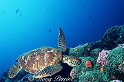green sea turtle, Chelonia mydas, Endangered Species, feeding on algae, Darwin Island, northern Galapagos, Ecuador ( Eastern Pacific Ocean )