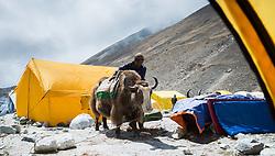 """THEMENBILD - Einheimischer beladet ein Yak im Island Peak Base Camp. Wanderung im Sagarmatha National Park in Nepal, in dem sich auch sein Namensgeber, der Mount Everest, befinden. In Nepali heißt der Everest Sagarmatha, was übersetzt """"Stirn des Himmels"""" bedeutet. Die Wanderung führte von Lukla über Namche Bazar und Gokyo bis ins Everest Base Camp und zum Gipfel des 6189m hohen Island Peak. Aufgenommen am 21.05.2018 in Nepal // Trekkingtour in the Sagarmatha National Park. Nepal on 2018/05/21. EXPA Pictures © 2018, PhotoCredit: EXPA/ Michael Gruber"""