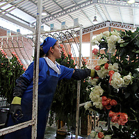 South America, Ecuador, Cayambe. A factory worker sorts long-stemmed roses.
