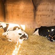 NLD/Bussum/20131219 - Perspresentatie nieuwe real life soap Utopia, de twee koeien