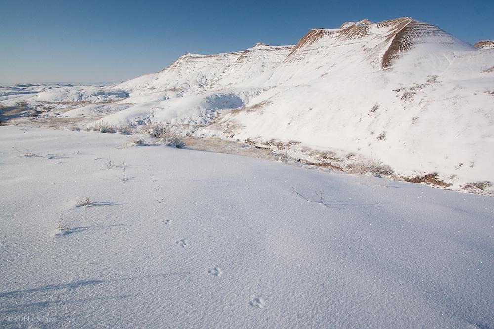 Hare print in snow, Badlands National Park, South Dakota, USA.