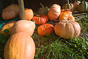 Pumpkins priced for sale on the grass outside a farm before Halloween, Bawdsey, Suffolk, England