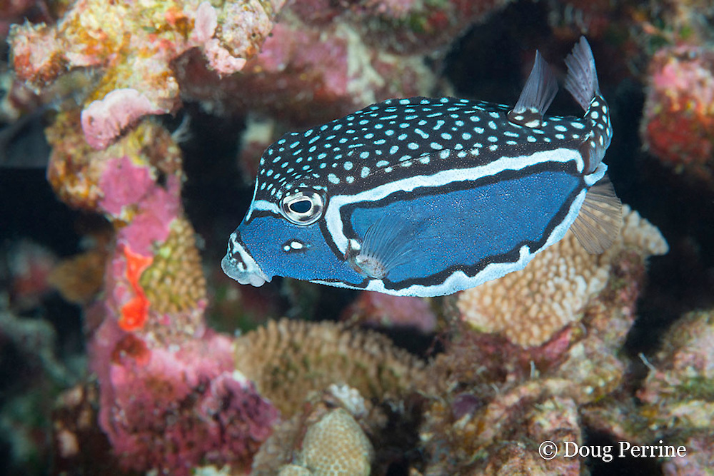 male Whitley's boxfish, Whitley's trunkfish, whitesided boxfish, or pahu, Ostracion whitleyi, Honaunau, Kona, Hawaii ( Big Island ), Hawaiian Islands ( Central Pacific Ocean ); the male of this species sports a dramatically different color pattern from the female, but is rarely seen on Hawaiian reefs