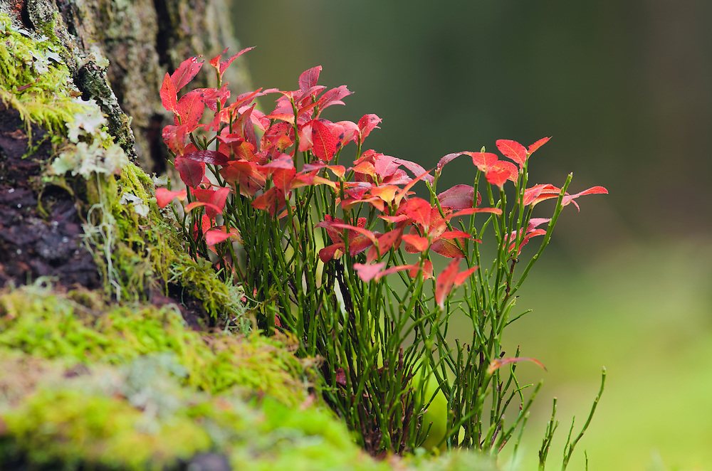 Wild blue berry bush in autumn colors in wood scenery
