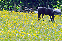 © Licensed to London News Pictures. 03/06/2013. Sunny weather in Kent today 03.06.2013. A horse grazes in fields of buttercups, Brandhatch in Kent. Photo credit :Grant Falvey/LNP