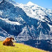 """A Swiss cow resting in front of the Swiss mountain """"Mönch"""" near Eiger and the town of Grindelwald in the Bernese Alps, Switzerland."""