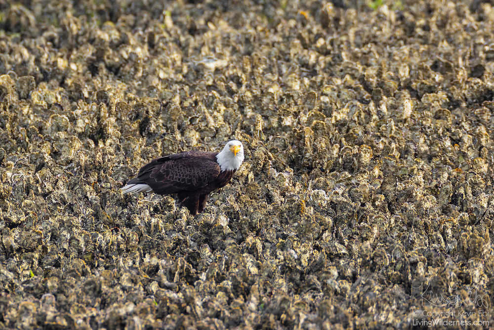 A bald eagle (Haliaeetus leucocephalus) searches for fish trapped in oyster beds at low tide along Hood Canal near Seabeck, Washington. Hundreds of bald eagles spend the early summer in the area to feast on migrating fish.
