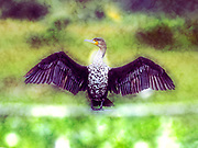 Digitally enhanced image of a White breasted Cormorant Phalacrocorax lucidus, drying its wings. Photographed in Lake Naivasha, Kenya,