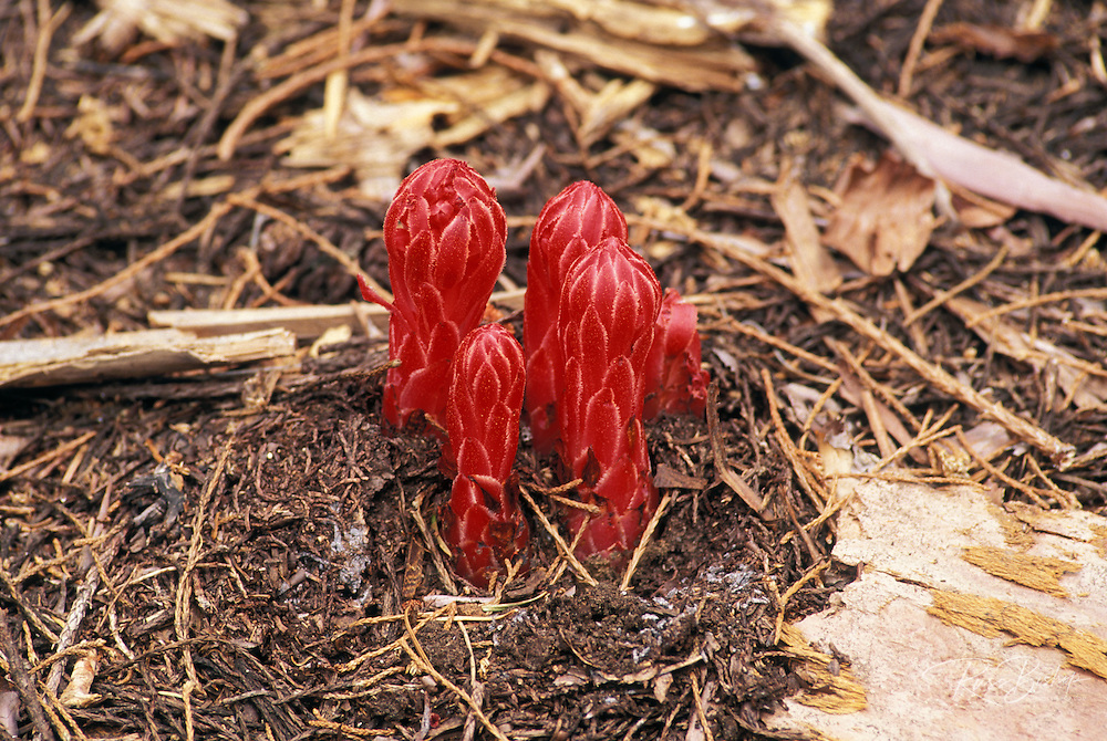Snow Plants (Sarcodes sanguinea) in Crescent Meadow, Giant Forest, Sequoia National Park, California