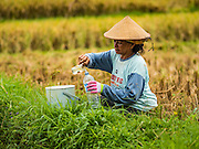 20 JULY 2016 - TAMPAKSIRING, GIANYAR, BALI:  A woman fills her water bottle while harvesting rice in Tampaksiring, Bali. Rice is an important part of the Balinese culture. The rituals of the cycle of planting, maintaining, irrigating, and harvesting rice enrich the cultural life of Bali beyond a single staple can ever hope to do. Despite the importance of rice, Bali does not produce enough rice for its own needs and imports rice from nearby countries. Because of its dependable growing weather and number of micro-climates, rice cultivation is a year round activity in Bali. Some farmers can be harvesting rice, while farmers just a few kilometers away can be planting rice. Most rice in Bali is still harvested by hand.     PHOTO BY JACK KURTZ