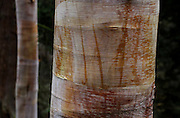 The bark of a Northern Chinese red birch tree shows an abstract landscape. (Alan Berner/The Seattle Times)