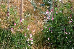 Lathyrus odoratus 'Painted Lady' growing amidst Stipa tenuissima