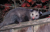 Opossum at night